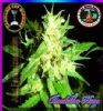 Big Buddha Buddha Haze Female 5 Marijuana Seeds
